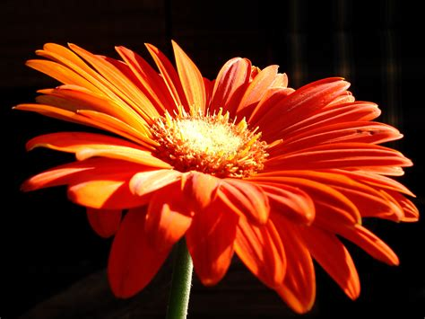 Orange Wallpaper Flower by Orange Flowers Wallpapers Hd Wallpapers