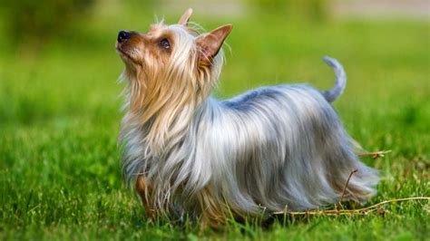 terrier silky australian silver dog side breeds fawn names