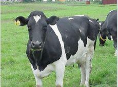 National Animal Of Nepal Cow 123Countriescom