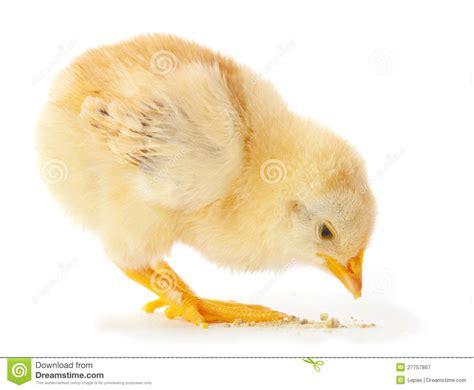 young chicken eating stock image image  bird studio