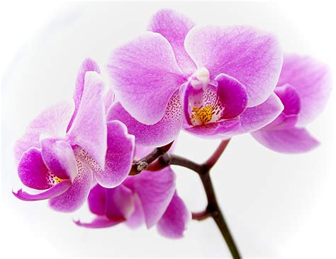 information of orchid flower eletragesi common orchid species images