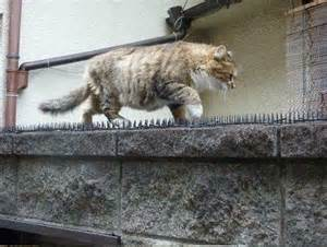 cat spikes monday s best a cat walks on spikes to meet with his