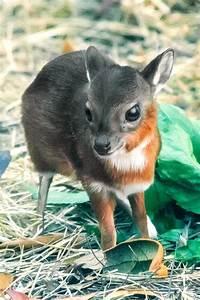 World's Tiniest Antelope Born in Tampa - ZooBorns