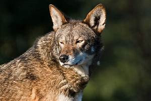 Best, Red, Wolf, Stock, Photos, Pictures, U0026, Royalty