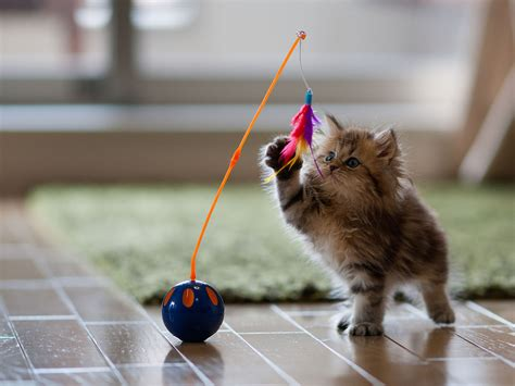 cute kitten playing  toy hd wallpaper hd nature