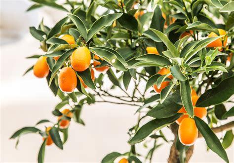 Limone In Vaso Cure by Agrumi In Vaso Le Cure Da Riservare Loro Durante L Inverno