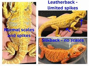 A Guide to Bearded Dragon Mutations and Genetic Traits ...