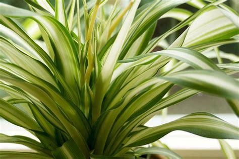 Giftige Zimmerpflanzen Für Katzen by Ungiftige Zimmerpflanzen F 252 R Katzen 15 Gr 252 Ne Bl 252 Hende