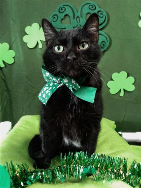 cats ready  st patricks day