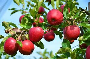 Stayman Winesap Apple Tree I  O