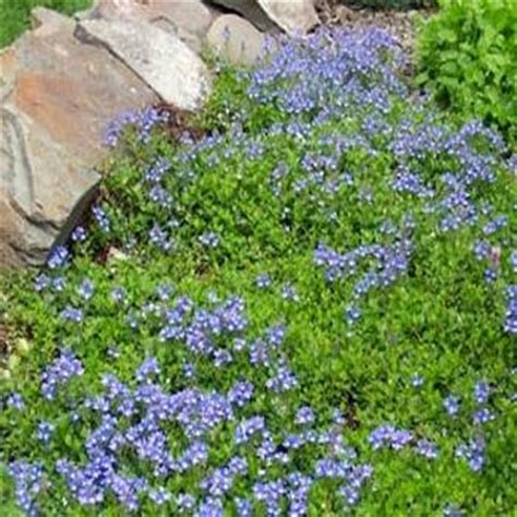 blue flower ground cover plants speedwell seeds veronica repens creeping speedwell ground cover seed