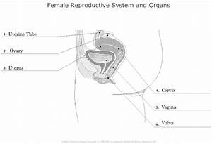 11 Best Images Of Human Reproductive System Diagram