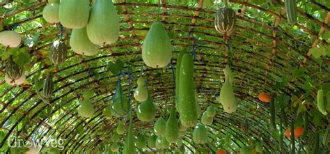What Can You Grow In A Vertical Garden by How To Grow Squashes Vertically