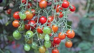 Tomaten Düngen Hausmittel : tomaten pflanzen pikieren und d ngen ratgeber ~ Whattoseeinmadrid.com Haus und Dekorationen