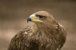 A Tawny Eagle At A Wild Bird Sanctuary Photograph by Joel