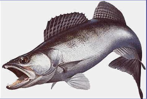 comment cuisiner le sandre poissons et caracteristiques