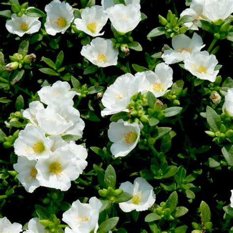 buy portulaca oleracea   clock white plant