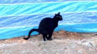 cat not pooping black cat pooping on soil
