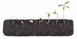 Growing Plants Bean Seed Germination Different Stages With