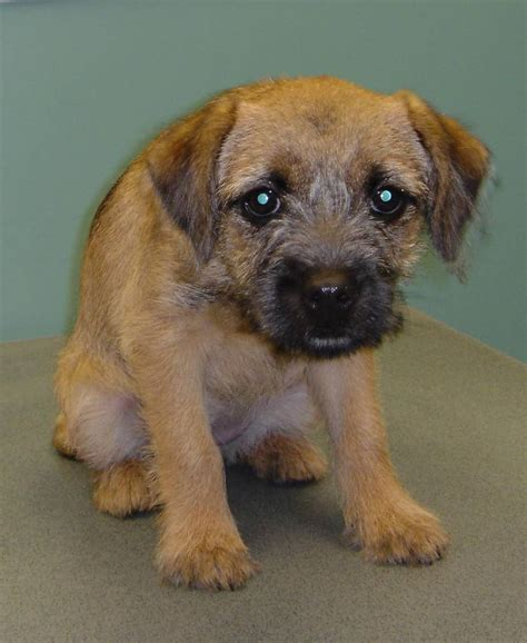 Border Terrier Dog Breed Information Puppies Pictures