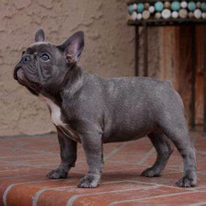 What Colors and Patterns Do Frenchies Come In? - What The ...
