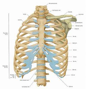 Ventral View Of The Thorax Skeleton   U2014 Anatomy References