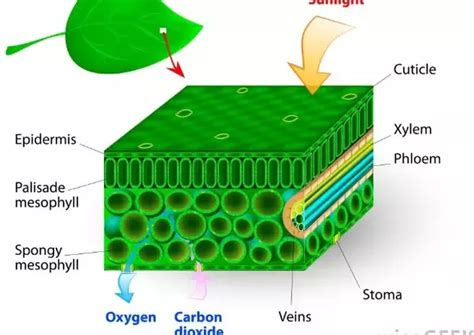 Why Is Chlorophyll Needed For Photosynthesis?