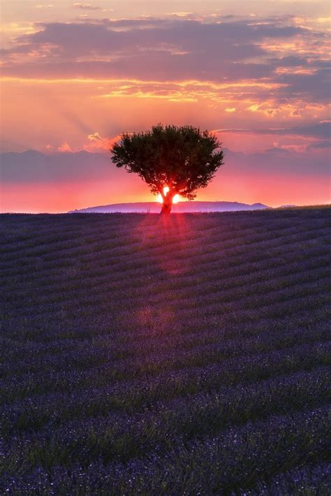 Sunset Over A Lavender Field In Provence France
