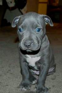 Blue Eyes | Animals (Pit Bulls) | Pinterest
