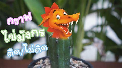 O8N Cactus House : แจ้ง!!! กราฟไข่มังกร ติด/ไม่ติด - YouTube