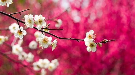 strauch mit weißen blüten die 90 besten fr 252 hling hintergrundbilder hd