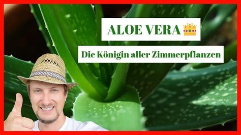 aloe vera schneiden aloe vera zimmerpflanze pflegen schneiden anwenden