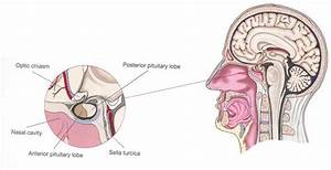 Two Lobes Of The Pituitary Gland  Module 16 Questions And Study Guide  2019