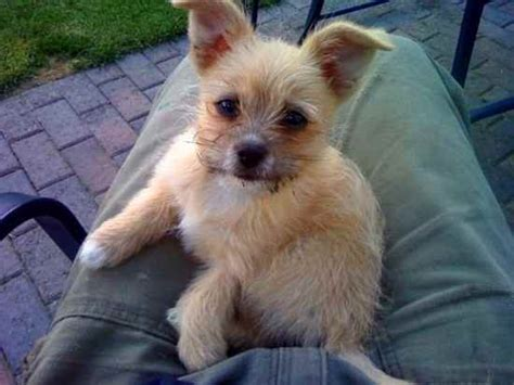 More French Pomchi Pictures