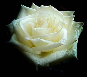 History and Meaning of White Roses | Flower Glossary