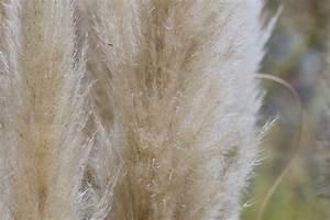 Pampasgras Wann Schneiden : pampasgras schneiden wann und wie tipps zum idealen ~ Lizthompson.info Haus und Dekorationen