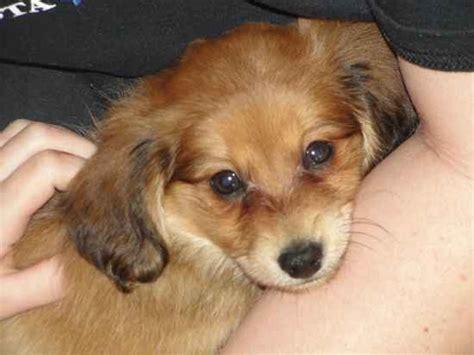 dameranian pomeranian  dachshund mix info temperament