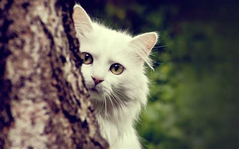 Cute White Cats Hd Wallpapers & Beautiful Pictures