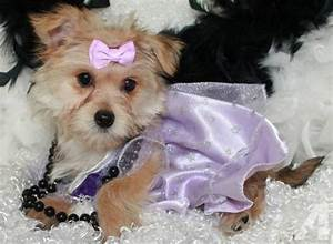 teacup maltese yorkie mix Quotes