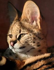 Baby serval by ThruEye - Pixdaus | Big wild cats | Pinterest