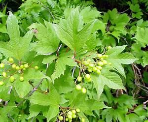 Viburnum opulus (highbush-cranberry): Go Botany