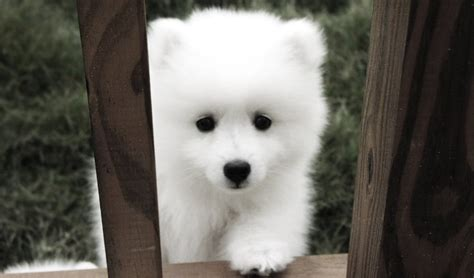 17 Best Ideas About Samoyed Puppies On Pinterest Samoyed