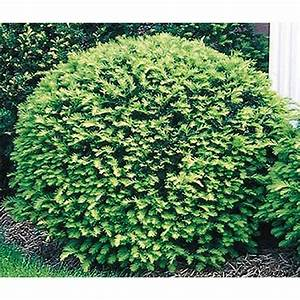 Shop 3 25-Gallon Insignificant Globe Yew (L4606) at Lowes com