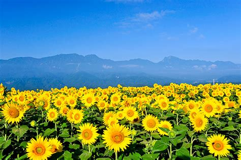 japanese summer flowers sunflower fields colors summer in japan japan monthly web magazine