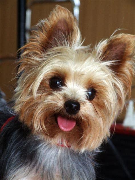 How Much Does A Yorkie And Teacup Yorkies Cost Yorkiep Ion Com
