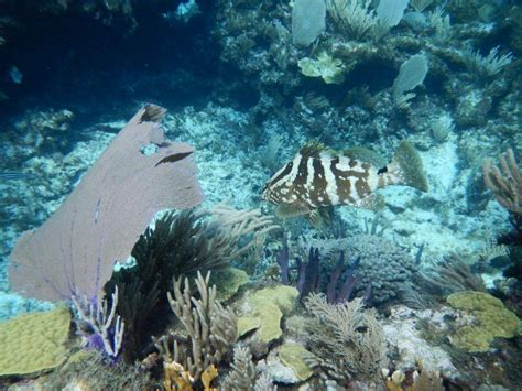 grouper nassau park mangrove everywhere there reef cays habitats migrate shallow pelican creeks individuals deeper patch mature then