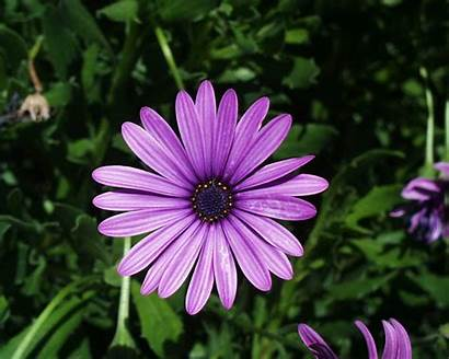 Daisy Flower Wallpapers Flowers Daisies Purple Types