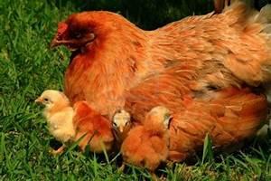 Poule En Espagnol : expressions en espagnol avec les animaux ~ Medecine-chirurgie-esthetiques.com Avis de Voitures