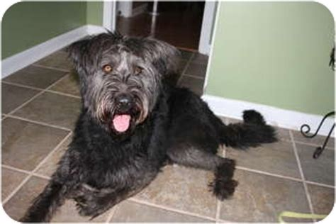 maggie adopted dog huntsville al schnauzer giant