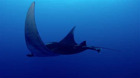 manta gigante nuotare rm clip